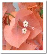 زراعة نبات الجهنمية(المجنونة Bougainvillea bou21190x190-66b4a_thumb[5].jpg?imgmax=800